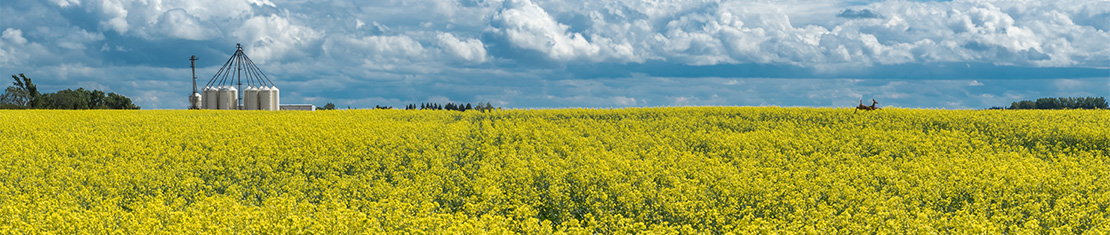 Yellow canola field in front of a cluster of silos